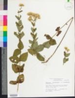 Eupatorium rotundifolium var. rotundifolium image