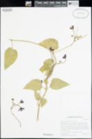 Matelea fruticosa image