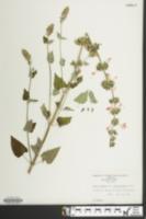 Salvia sclarea image