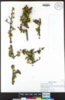 Image of Ceanothus decornutus