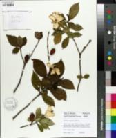 Image of Gardenia jasminoides