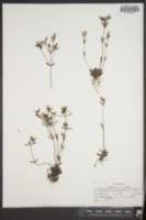 Image of Houstonia setiscaphia