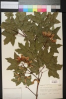 Image of Acer grandidentata