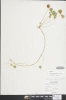 Trifolium calcaricum image