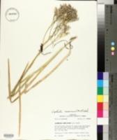 Lophiola aurea image