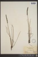 Drosera filiformis image