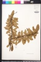 Image of Berberis dielsiana
