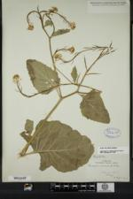 Sinapis arvensis image