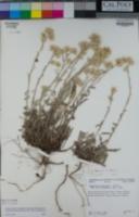 Pseudognaphalium thermale image