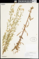 Pulicaria paludosa image