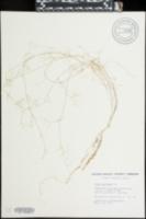 Vicia graminea image