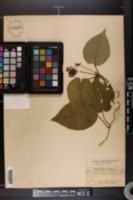 Image of Vincetoxicum carolinense