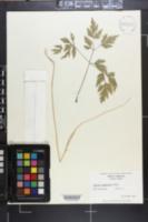 Image of Angelica polymorpha