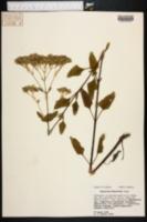 Image of Eupatorium mikanioides