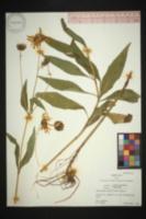 Helianthus × laetiflorus image