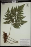 Image of Arachniodes chaerophylloides