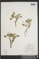 Viola purpurea var. venosa image