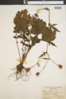 Image of Geum hirsutum