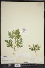 Blumenbachia insignis image