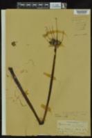 Hymenocallis liriosme image