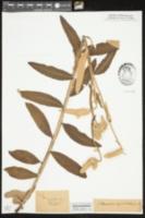 Pterochondria woodii image