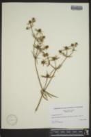 Eryngium aquaticum image