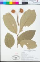 Image of Aglaia saltatorum