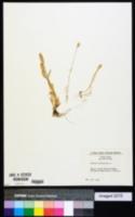 Phleum arenarium image