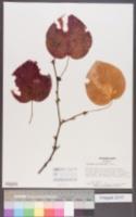 Image of Disanthus cercidifolius