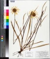 Helianthus carnosus image