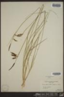 Carex baltzellii image