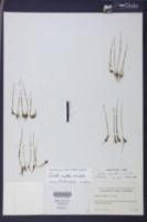 Isoetes orcuttii image