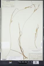 Carex conoidea image