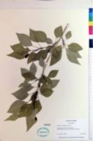 Image of Populus brayshawii