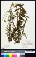 Image of Oenothera demareei
