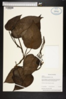 Epipremnum pinnatum image