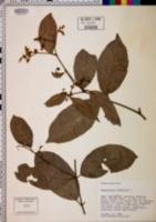 Hippocratea volubilis image