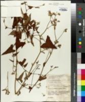 Image of Polygonum cymosum