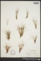 Cyperus subsquarrosus image
