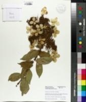 Image of Hydrangea paniculata