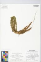 Image of Lycopodium x bartleyi