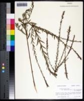 Lythrum alatum var. lanceolatum image