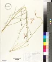 Anisacanthus puberulus image