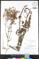 Senecio glomeratus image