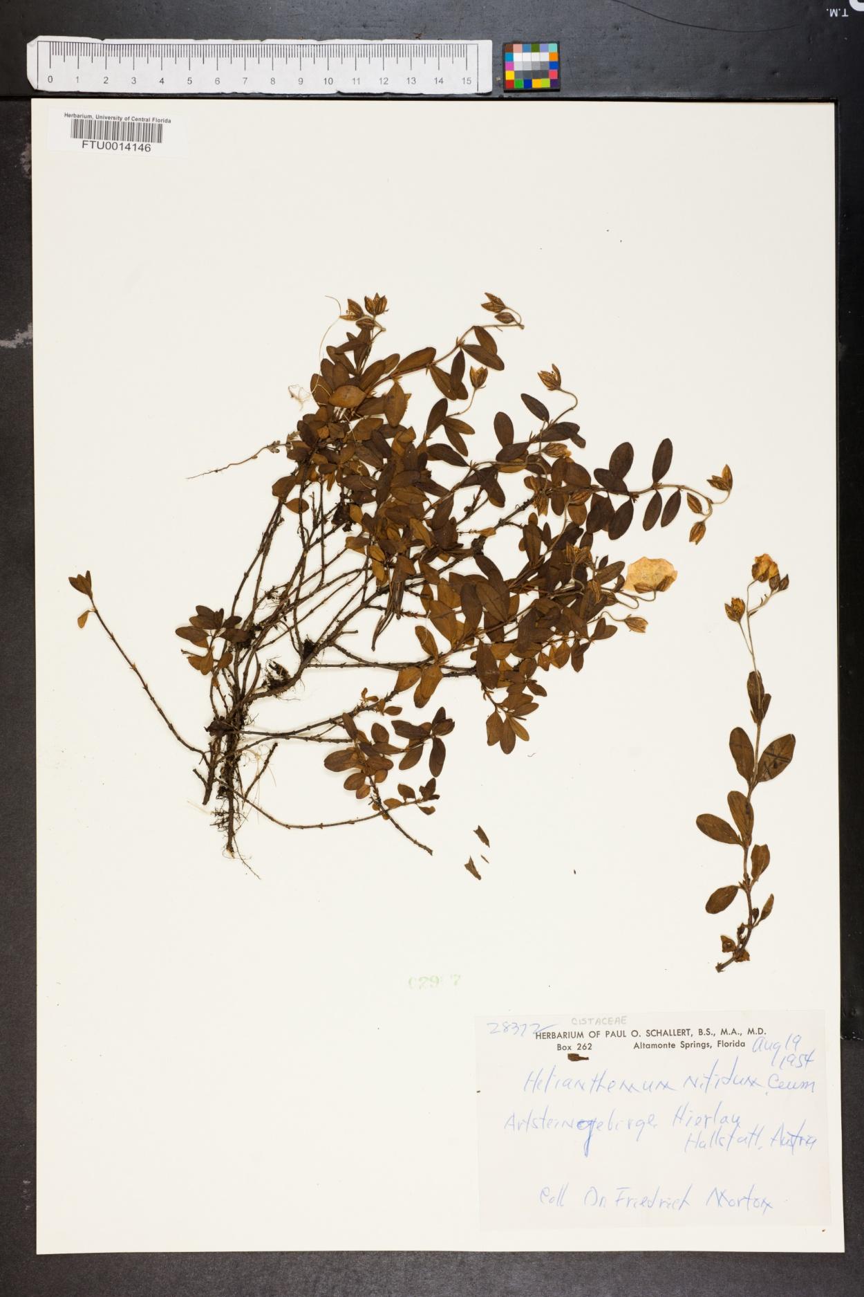 Helianthemum nummularium subsp. glabrum image