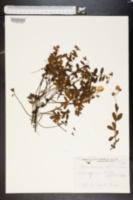 Helianthemum nummularium image