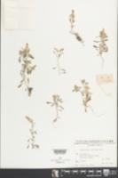 Image of Gnaphalium indicum