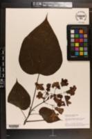 Catalpa speciosa image