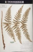Dryopteris austriaca image