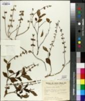 Image of Ocimum selloi